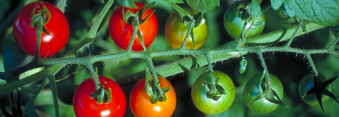 portada_tomates